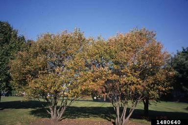 Amelanchier trees